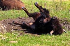 Bizon bierze pyłu skąpanie obraz stock