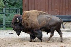 Bizon bij de dierentuin van Berlijn Royalty-vrije Stock Afbeelding