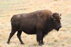 Bizon-buffels Royalty-vrije Stock Afbeelding