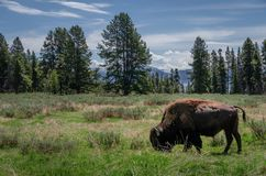 Bizon of Buffels die in het nationale park van Yellowstone weiden stock fotografie