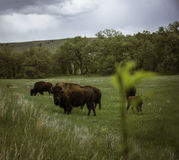 Bizon in Custer royalty-vrije stock fotografie