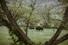 Bizon in Custer State Park stock afbeelding