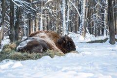 Bizon in de wildernis stock afbeeldingen