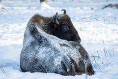 Bizon in de wildernis royalty-vrije stock afbeelding