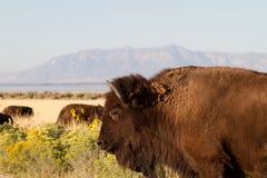 Bizon dichtbij Great Salt Lake Stock Afbeeldingen