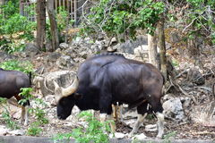 Bizon die in dierentuin Thailand eten Stock Foto's