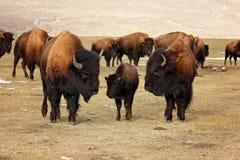 Bizon drie of buffels die hun jongelui beschermen royalty-vrije stock fotografie