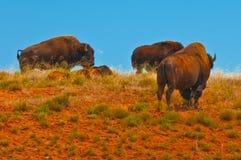 bizon dziki Zdjęcia Stock