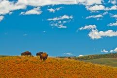 bizon dziki Zdjęcie Royalty Free