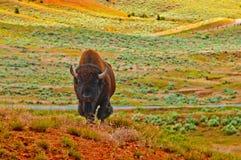 bizon dziki Obraz Stock
