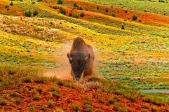 bizon dziki Fotografia Royalty Free