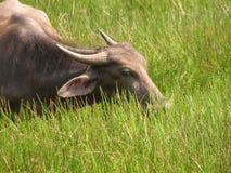 Bizon głowy strzał Widzieć w India, Karnataka Fotografia Royalty Free
