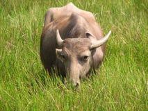 Bizon głowy strzał Widzieć w India, Karnataka Obraz Royalty Free