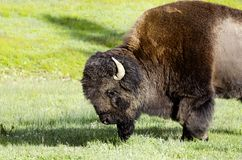 Bizon in het nationale park de V.S. van Yellowstone Royalty-vrije Stock Foto