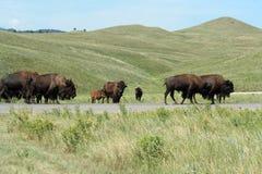 Bizon in het Park van de Staat Custer, Zuid-Dakota royalty-vrije stock foto