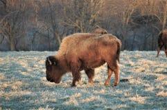 Bizon het weiden op gras in Missouri stock afbeelding