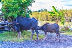 Bizon i jej dziecko obrazy stock