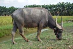 Bizon je trawy wzdłuż kanału Rice drzewa i pola są tłem obraz royalty free