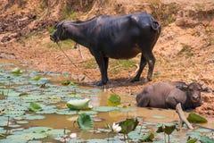 Bizon jest życia maszyną rolnik przy kanałem Fotografia Stock