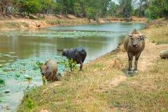 Bizon jest życia maszyną rolnik przy kanałem Obraz Stock
