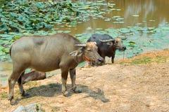Bizon jest życia maszyną rolnik przy kanałem Zdjęcie Royalty Free