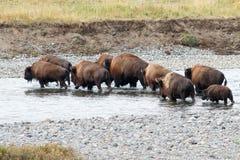 Bizon krzyżuje rzekę w Yellowstone Zdjęcia Stock