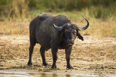 Bizon na brzeg rzeki Południowa Afryka Zdjęcia Royalty Free