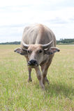 Bizon na dzikim polu Fotografia Royalty Free