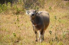 Bizon na trawy polu Fotografia Royalty Free
