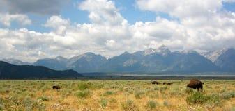 Bizon in nationaal park Teton stock afbeeldingen