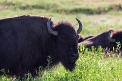 Bizon op de Prairie stock afbeelding