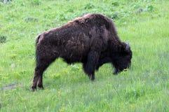 bizon pojedynczy Zdjęcia Royalty Free