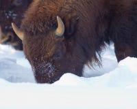 Bizon przy Yellowstone parkiem narodowym w zima czasie - mamut zdjęcie royalty free