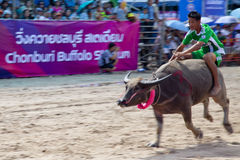 Bizon rasa Chonburi.  obrazy stock