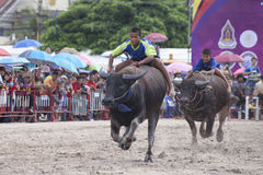 Bizon rasa Chonburi.  Zdjęcie Royalty Free