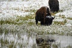 Bizon in sneeuw stock afbeeldingen