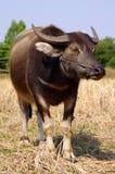 bizon tajlandzki Zdjęcie Stock