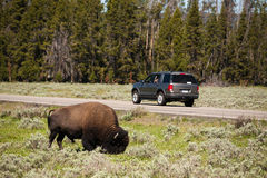 Bizon van Yellowstone royalty-vrije stock afbeelding