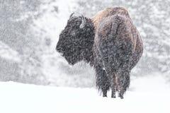 Bizon w śniegu obraz royalty free