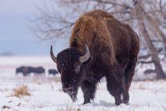 Bizon w śniegu Amerykański żubr na Wysokich równinach Kolorado fotografia royalty free