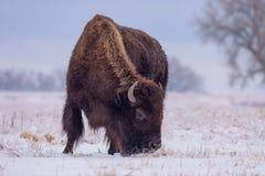 Bizon w śniegu Amerykański żubr na Wysokich równinach Kolorado obrazy royalty free