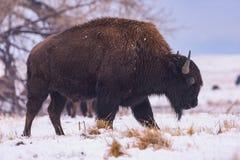 Bizon w śniegu Amerykański żubr na Wysokich równinach Kolorado obraz stock