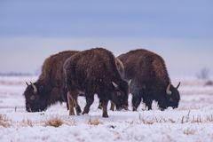 Bizon w śniegu Amerykański żubr na Wysokich równinach Kolorado fotografia stock