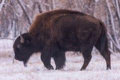 Bizon w śniegu Amerykański żubr na Wysokich równinach Kolorado obraz royalty free