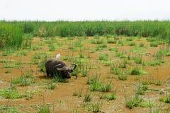 Bizon w jeziornym Manyara Obrazy Royalty Free