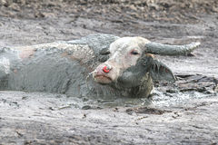 Bizon w mud2 Fotografia Royalty Free