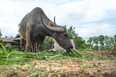 Bizon w polu, Tajlandia obraz stock
