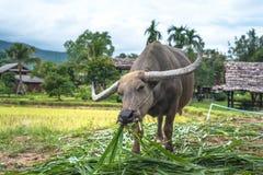 Bizon w polu, Tajlandia zdjęcie stock