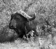 Bizon w Tanzania Fotografia Royalty Free