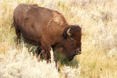 Bizon w Yellowstone Obraz Stock